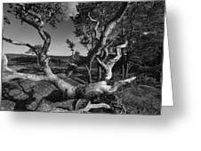 Weather Beaten Pine Tree At The Coast - Monochrome Greeting Card