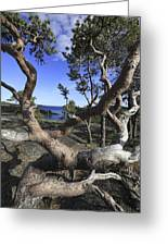 Weather Beaten Pine Tree At The Swedish High Coast Greeting Card