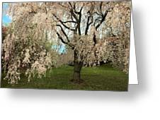 Weeping Asian Cherry Greeting Card