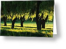 Weeping Willows Greeting Card