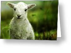 Welsh Lamb Greeting Card