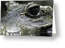 West African Dwarf Crocodile - Captive 04 Greeting Card