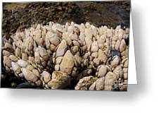 West Coast Barnacles Greeting Card