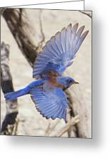 Western Bluebird 2 Greeting Card