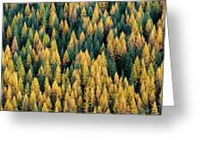 Western Larch Forest Greeting Card
