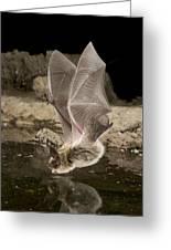 Western Long-eared Myotis Drinking Greeting Card