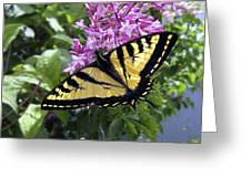 Western Tiger Swallowtail Butterfly Greeting Card by Daniel Hagerman