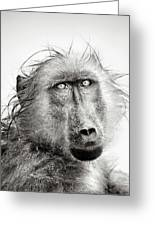 Wet Baboon Portrait Greeting Card