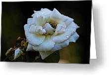Wet Rose Greeting Card