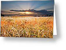 Wheat At Sunset Greeting Card
