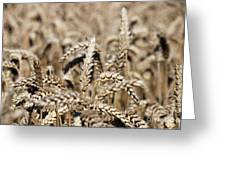 Wheat Close Up Summer Season Greeting Card