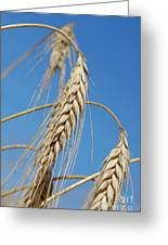 Wheat Crop Greeting Card