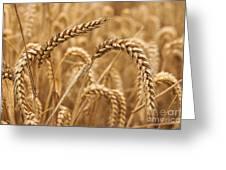 Wheat Ears 1 Greeting Card