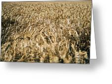Wheat In The Wind Greeting Card