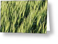 Wheat Greeting Card