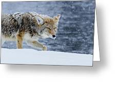 Where The Coyote Walks Greeting Card