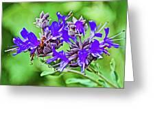 Whirly Bird Salvia In Rancho Santa Ana Botanic Garden In Claremont-california Greeting Card