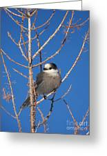 Whiskey Jack Perched On A Winter Larch  Greeting Card