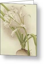 White Amaryllis   Ismene Andreana Greeting Card