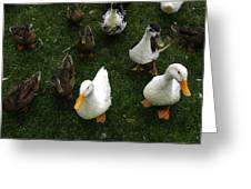 White And Brown Ducks Greeting Card