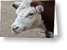 White And Brown Heifer Dairy Cow Greeting Card