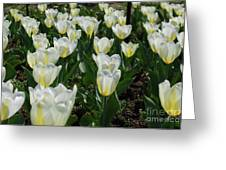 White And Pale Yellow Tulips In A Bulb Garden Greeting Card