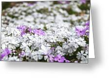 White And Pink Flowers At Botanic Garden In Blue Mountains Greeting Card