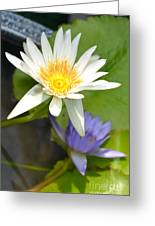White And Purple Lotus Flowers At Golden Mount Greeting Card