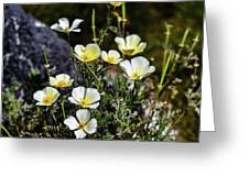 White And Yellow Poppies 1 Greeting Card