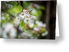 White Apple Flowers Greeting Card