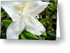 White Azalea Flower 9 Azaleas Raindrops Spring Art Prints Baslee Troutman Greeting Card