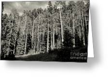 White-barked Birch Forest 3 Greeting Card