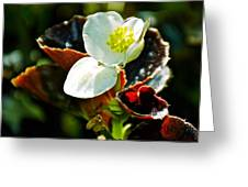 White Begonia At Pilgrim Place In Claremont-california  Greeting Card