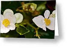 White Begonias At Pilgrim Place In Claremont-california Greeting Card