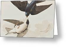 White-bellied Swallow Greeting Card