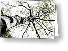 White Birch 2011-1a Greeting Card