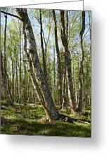 White Birch Forest Greeting Card