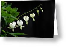 White Bleeding Hearts Greeting Card