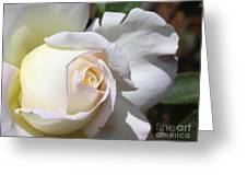 White Blush Rose Greeting Card