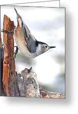 White-breasted Nuthach Greeting Card