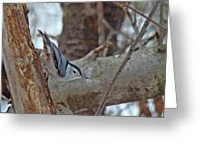 White Breasted Nuthatch - Sitta Carolinensis Greeting Card
