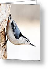 White-breasted Nuthatch Greeting Card