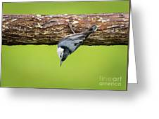 White-breasted Nuthatches Greeting Card