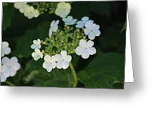 White Bridal Wreath Flowers Greeting Card