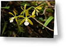White Butterfly Orchid Greeting Card
