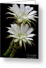 White Cactus Flowers Greeting Card