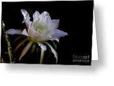 White Cactus Glory  Greeting Card