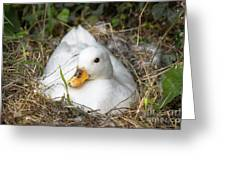 White Call Duck Sitting On Eggs In Her Nest Greeting Card