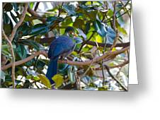 White-cheeked Turaco Greeting Card