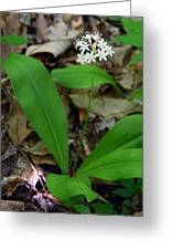 White Clintonia Greeting Card